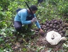 Castanheiros indígenas e de povos tradicionais de Rondônia terão acesso a crédito bancário pela primeira vez