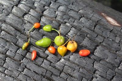 Povos indígenas Wai Wai e Baniwa trocam informações sobre produção e comercialização da pimenta em pó