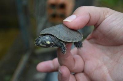 Soltura de Tartarugas da Amazônia ajuda conservação da espécie na Rebio do Rio Trombetas